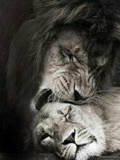 lion-rawr